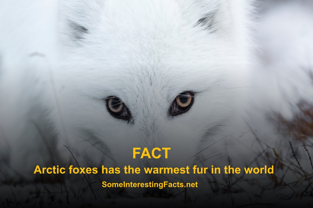 5 Facts About Arctic Foxes Some Interesting Facts