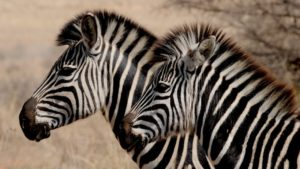 zebra facts