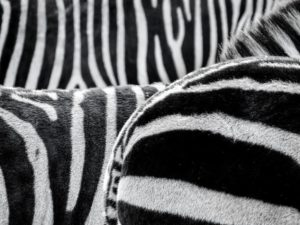 zebra-stripes