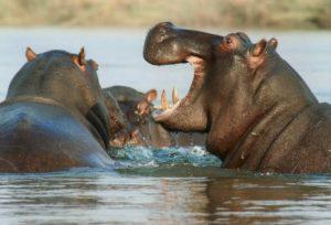 wierd-hippos